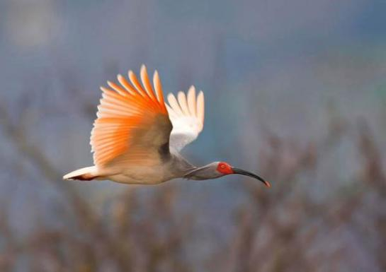 Asian-Crested-Ibis