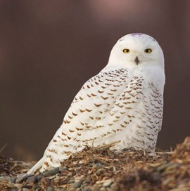 Snowy Owl on Duxbury Beach, MA. The purple on its crown means it was captured earlier this winter at Logan Airport in Boston. Photo by Ian Davies.