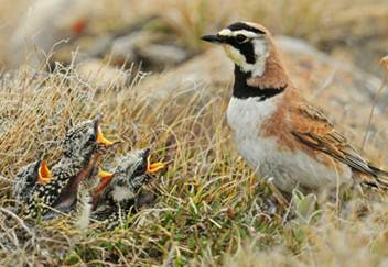 Horned Lark and chicks