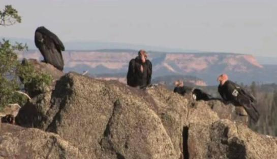 The severe death toll in the last few months has taken out almost 10 percent of the Utah-Arizona condor population.