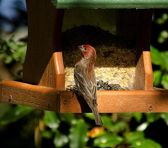 A male house fnch in fresh breeding plumage takes advantage of a seed feeder.By Gary Phillips — The Sun News