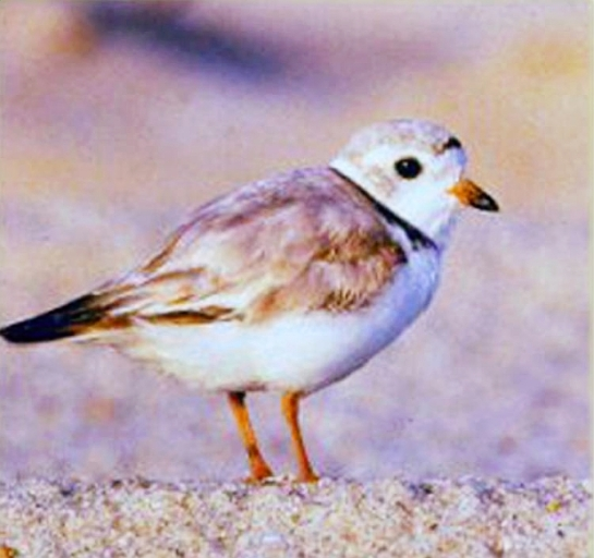 Piping plovers are related to killdeers, but they're smaller — a little more than seven inches (18 centimetres) long, with long legs for wading. Think of an over-sized sparrow on long legs.Photograph by: Handout photo , U.S. Fish and Wildlife Service