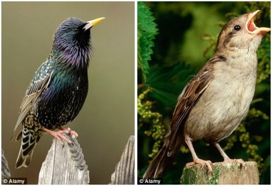 Alarming decline: Starlings, pictured left, and sparrows, pictured right, are under threat according to the RSPB