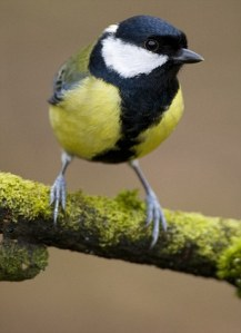 A study of Great Tits (Parus major) revealed a direct link between the health of the infants and the 'attractiveness' of their mother