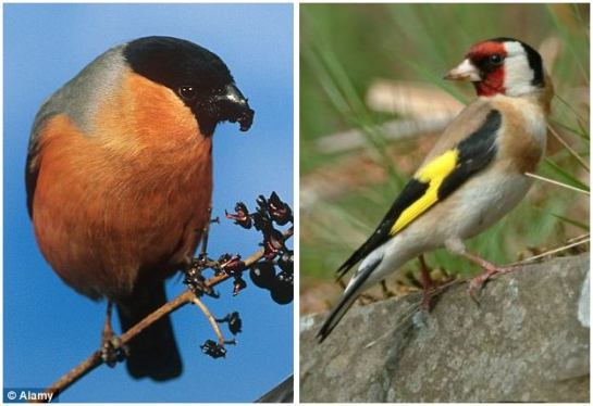 Under threat: The RSPB has expressed fears for the bullfinch, pictured left, as part of its birdwatch project to keep track of species such as the Goldfinch, pictured right