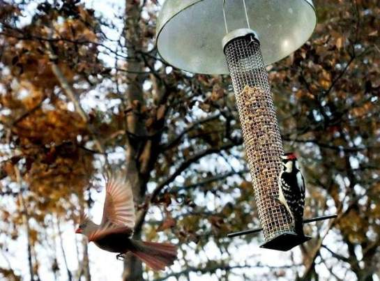 A female cardinal flits off from a peanut filled bird feeder as a downy woodpecker takes her position. As drought continues, home bird feeders will help wild birds survive the winter.