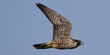 This is a photo of an immature Peregrine Falcon of the race that breeds in Greenland with a band on its right leg. These are the most migratory of the worldÕs falcons the adults heading to Patagonia in southern South America for the winter before returning to its high Arctic breeding grounds in Greenland on an annual basis. That is a minimum of a 20 thousand mile annual commute and some huge open water crossings.