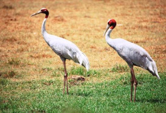 The Sarus Crane suffered a rapid population decline. Photo: N. Shiva Kumar