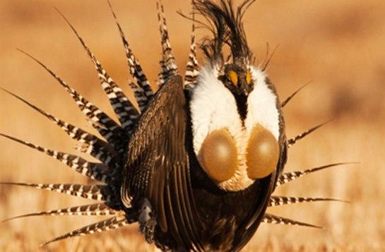 (Image: Gunnison Sage-Grouse by Noppadol Paothong)