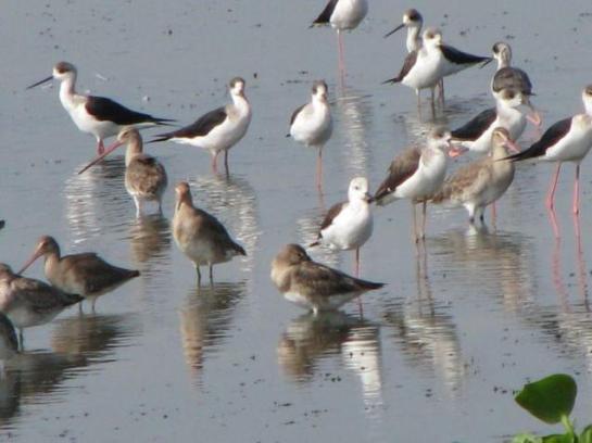 Black winged stilts forging for food in Kolleru lake near Madhavapuram in West Godavari district.