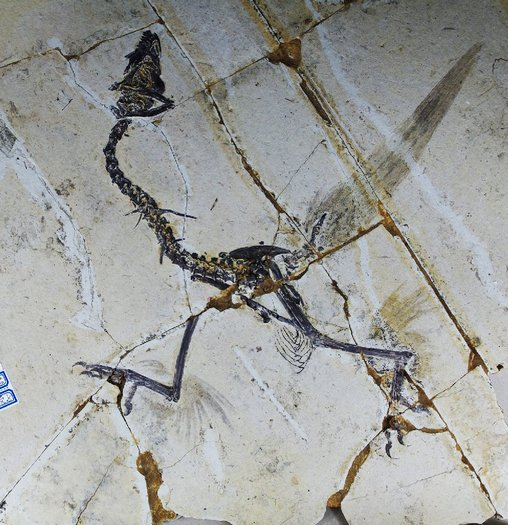 This handout photo shows a Sapeornis, a type of bird that until now was not believed to have hind feathers. But scientists in China say that some primitive birds used four wings more than 120 million years ago, before evolution led them to ditch their hind feathers in favor of scaly feet. (AFP / Getty Images)