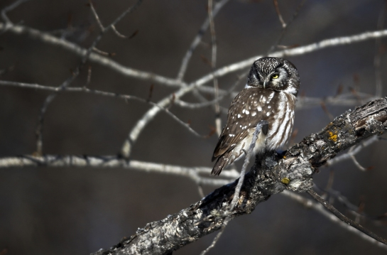 Rarely seen, a tiny boreal owl perched on the limb of a tree. At 4 ½ ounces, it is one of the smallest owls.
