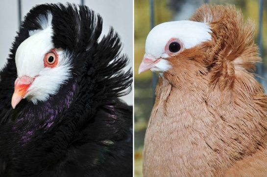 Head dress. Though the head crests of domesticated pigeons can vary quite a bit, their presence is due to the same mutation.Credit: Mike Shapiro/University of Utah