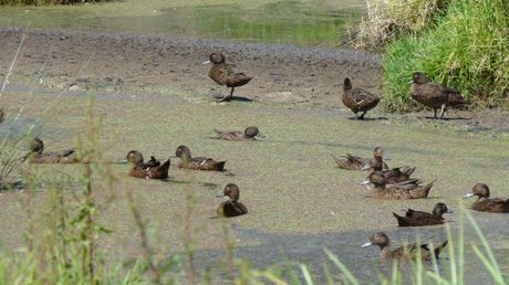 The amount of pateke flocking at east coast Whangarei sites indicate the brown teal is fighting back from being New Zealand's most endangered waterfowl.