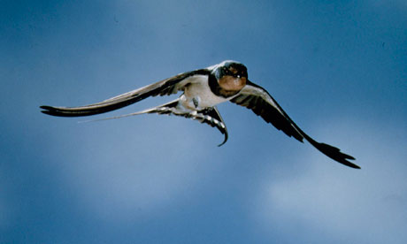 The two swallows that were reported on the last day of February, a day ahead of the meteorological first day of spring, were very timely. Photograph: Franco JF & Bonnard T/Corbis