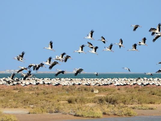 Usually these birds fly quite high, but as they come to Egypt, and they are face with more arid climates and sandstorms which disturbs navigation and visibility