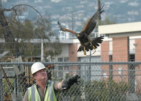 Falconer Gary Bauer and his Harris's hawk Gillian keep seagulls at bay for MarBorg.