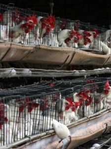 Quick action has led to tens of millions of birds have been culled to stop the spread, which has been brought under control by animal vaccination programs.