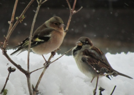 House sparrow (right) and chaffinch are the most common birds in Derry gardens - but their numbers are falling