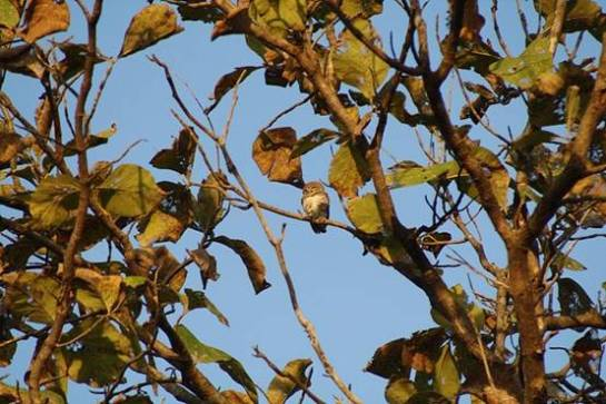 The forest owlet (Heteroglaux blewitti)