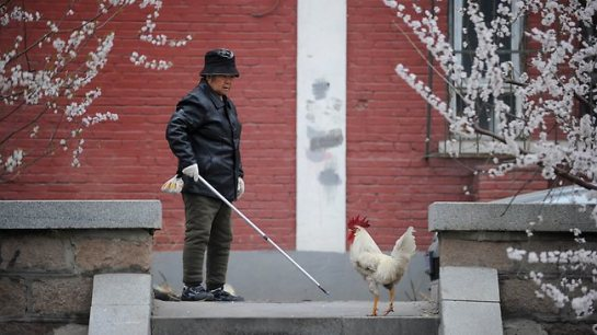 An elderly woman eyes a cockerel suspiciously in Beijing.