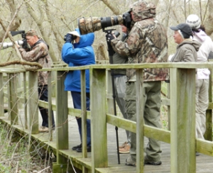 "Early Birds - One week before ""The Biggest Week"" Dennis Hills of Ottawa, Odelia Leow of Maumee, Mark & Joanie Hubinger of Au Train, MI, and Harry Nieman of Cincinnati zoom in to identify a  warbler in the brush as Magee Marsh. (Press photo by Stephanie Szozda)"