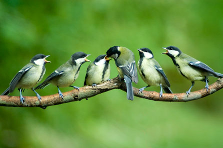 DEMANDING DINERS Lively European birds called great tits haven't kept up with climate changes that would require earlier nesting. Researchers have uncovered a quirk of population dynamics that's giving the mistimed population some temporary protection.