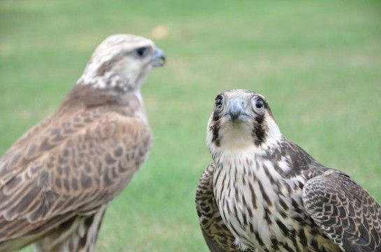 Falcons begin arriving in Pakistan from Siberia, China, Russia and Afghanistan during the months of August and September and either take up residence in desert landscapes, or nest in the foothills of arid regions