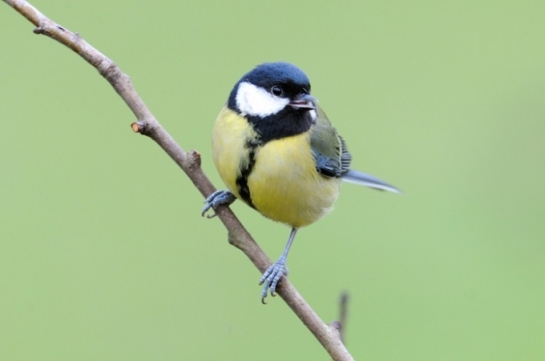 Songbirds are more resilient than we thought. New research reveals that a bird called the great tit can handle climate change far better than expected. (Photo : Flickr/Kev Chapman)