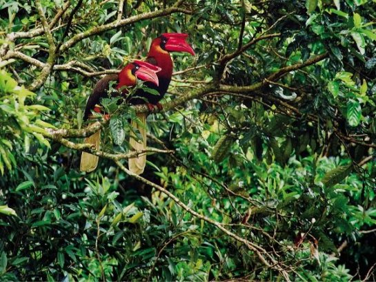 A PAIR of Rufous hornbills stands out in this photo taken by Neon Rosell.