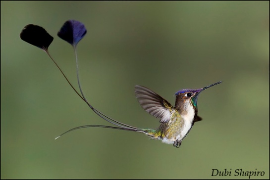 Marvelous Spatuletail © Dubi Shapiro, from the surfbirds galleries.