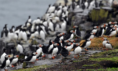 Puffins on the Farne Islands as the 2013 National Trust puffin census gets underway. Photograph: Anna Gowthorpe/PA