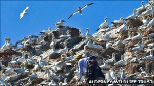 Previous research has indicated there are more than 7,000 gannets in and around Alderney