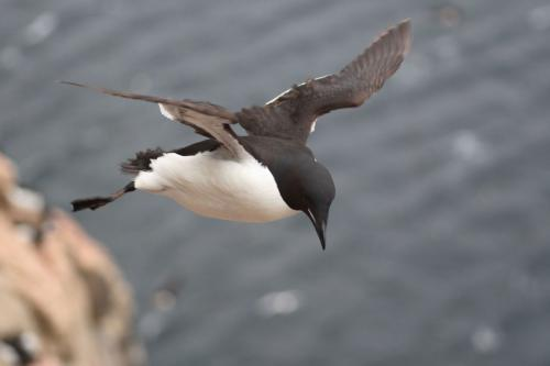 Murres, which resemble flying penguins, have the highest wing-loading of any bird, which results in exceptionally high flight costs and could explain why Antarctic penguins have evolved flightlessness. Credit: Kyle H. Elliott.