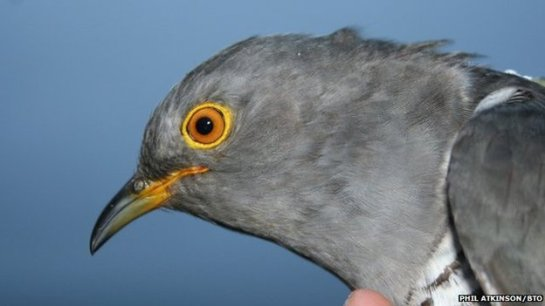 David the cuckoo from Ceredigion turned back from the UK to visit France