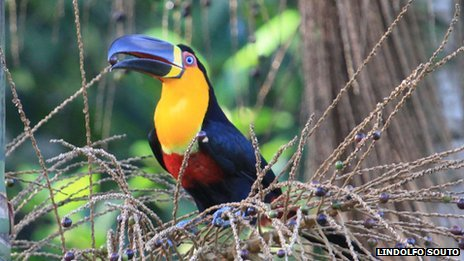 Scientists think the loss of large fruit-eating birds, such as the toucan, is causing seeds to shrink