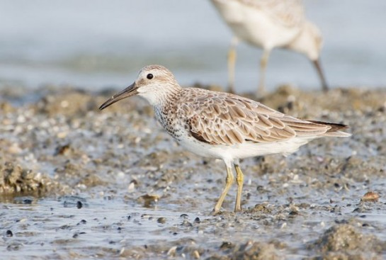 The Great Knot (Calidris tenuirostris) is a small sized wader, although, it is the largest of the calidrid species.