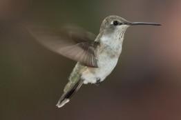 Archilochus-alexandri-hummingbird-620x413