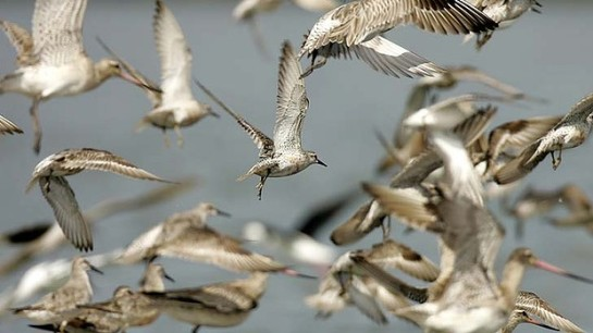 At risk: the bar-tailed godwit. Photo: Jonathan Carroll