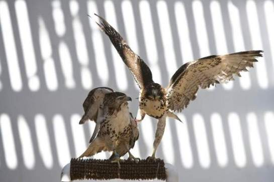 Red tailed hawks rescued in Jefferson County inside their flying cage at Raptor Rehabilitation of Kentucky on Thursday. March 28, 2013 / Alton Strupp/Courier-Journal