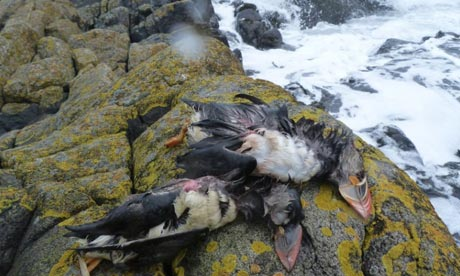 In March, 3,500 dead puffins washed up along the north-east coast of Britain. Photograph: Mark Newell/Centre for Ecology & Hydrology