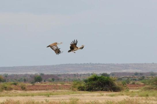 The Great Indian Bustard in flight at the Rollapadu Sanctuary in Kurnool district. Photo: Special Arrangement