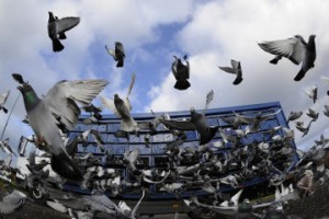 The birds may look ordinary, but they fetch record prices in China.