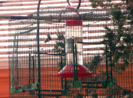 A caged hummingbird waits to be banded, Ivins, Utah, June 3, 2013   Photo by Alexa Verdugo Morgan, St. George News