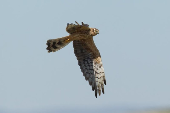 Montagu`s Harrier © John Miller, from the surfbirds galleries.