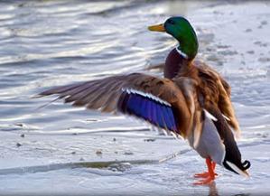 20130626-Duck-genome-editorial