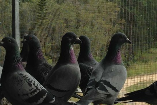 PHOTO: Australia's fastest pigeons will compete in Australia's richest racing series, the Gold Coast 50,000.