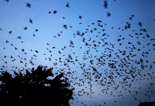 Purple martins populations in northern regions are in decline, possibly because the birds have been slow to adapt to the ever-earlier arrival of spring. (Photograph by: Craig Cunningham , THE CANADIAN PRESS )