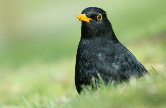 BIRDS EYE: A male European blackbird sits among grass.