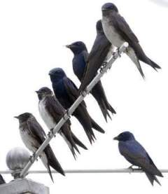 Purple martins on one of Chuck Fullmer's colonies. / GARY EMEIGH/ THE NEWS JOURNAL